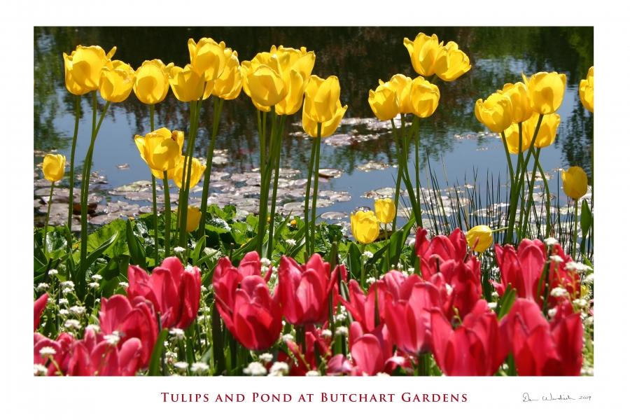 Tulips and Pond Butchart Gardens