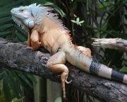 Lizard1 Singapore 8X10