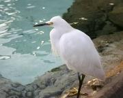 Seaworld snowy egret 8X10