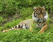Tiger 8X10 0657