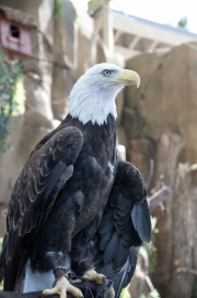 DSC_1736 Bald Eagle Tacoma Zoo