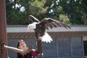 DSC_1735 Bald Eagle Tacoma Zoo