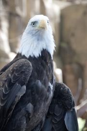 DSC_1737 Bald Eagle Tacoma Zoo