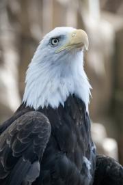 DSC_1738 Bald Eagle Tacoma Zoo