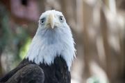 DSC_1741 Bald Eagle Tacoma Zoo
