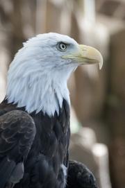 DSC_1743 Bald Eagle Tacoma Zoo