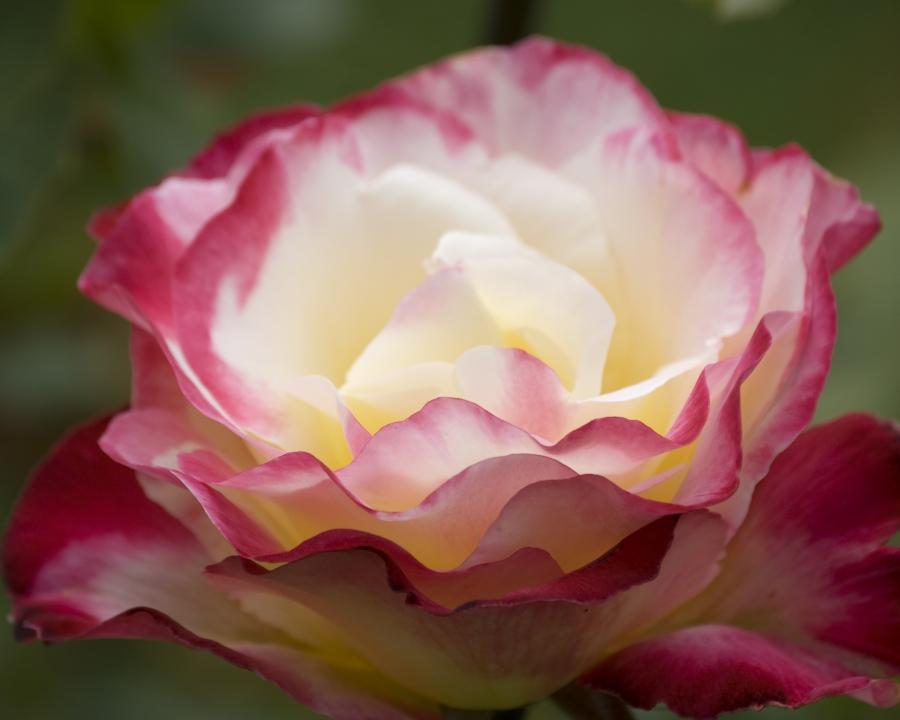 8X10 Mixed Roses 0107