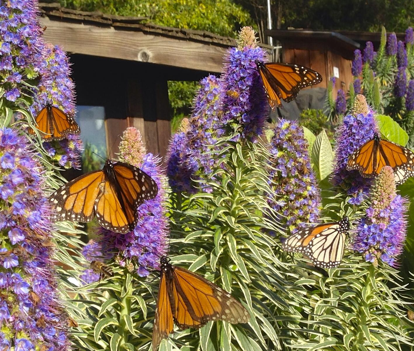 Esalen Color Closeup Monarch Butterflies.