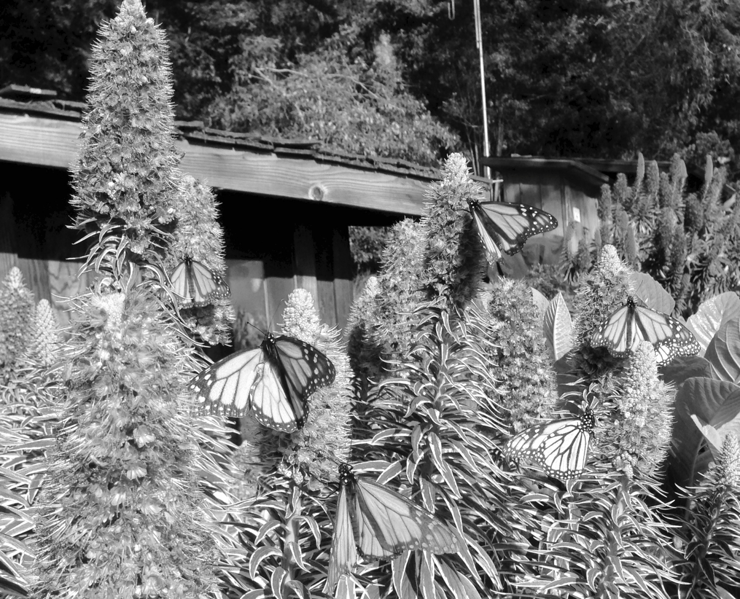 Esalen BW Monarch Butterflies.