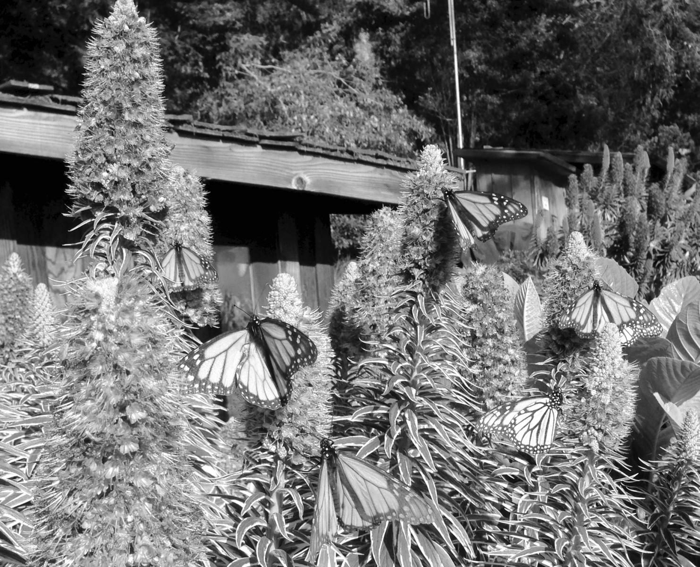 Esalen BW Monarch Butterflies.