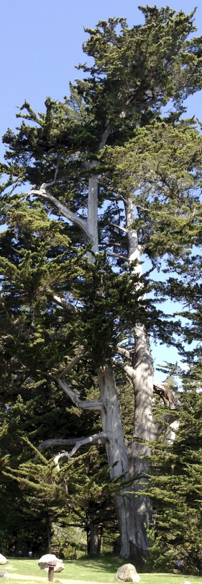 Same tall tree.