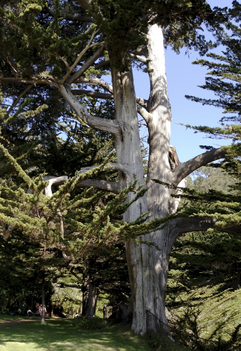 """Tall tree near Esalen gate to the see. Notice the size of the """"small"""" man."""