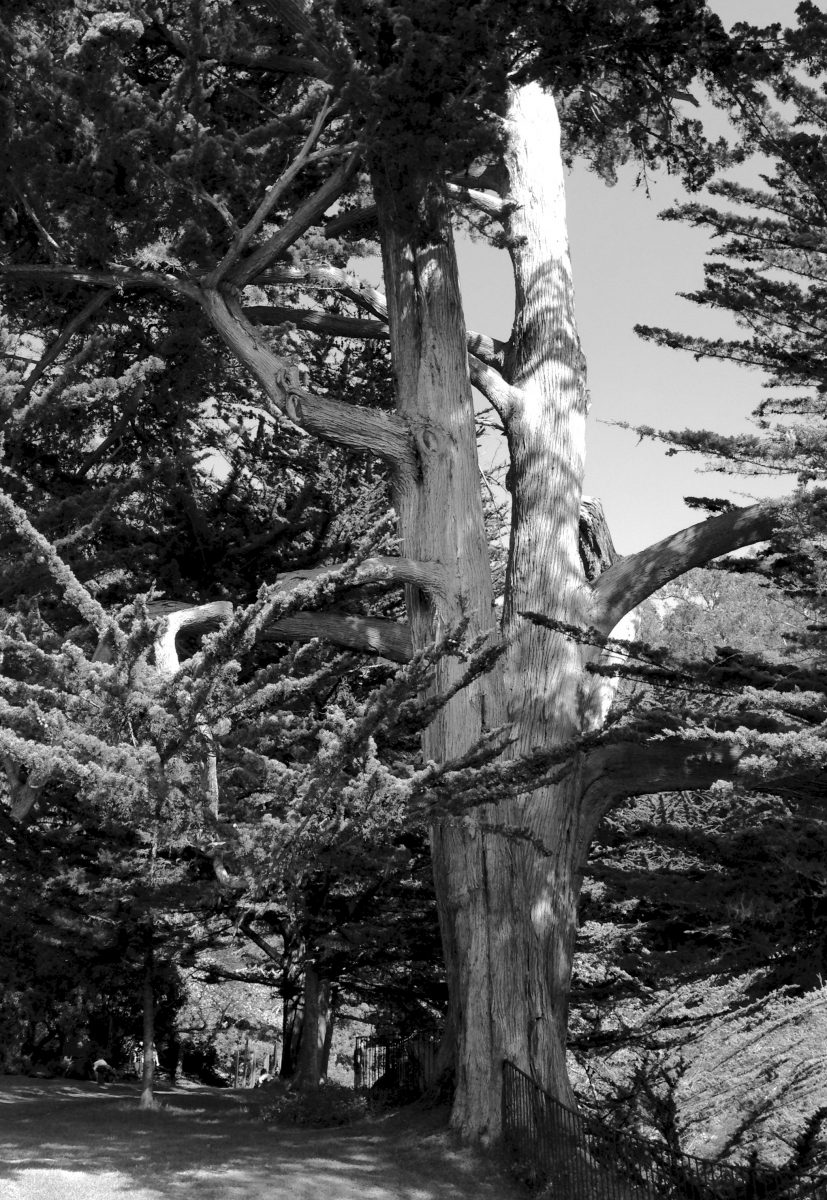 "Green Filter version of Tall tree near Esalen gate to the see. Notice the size of the ""small"" man."