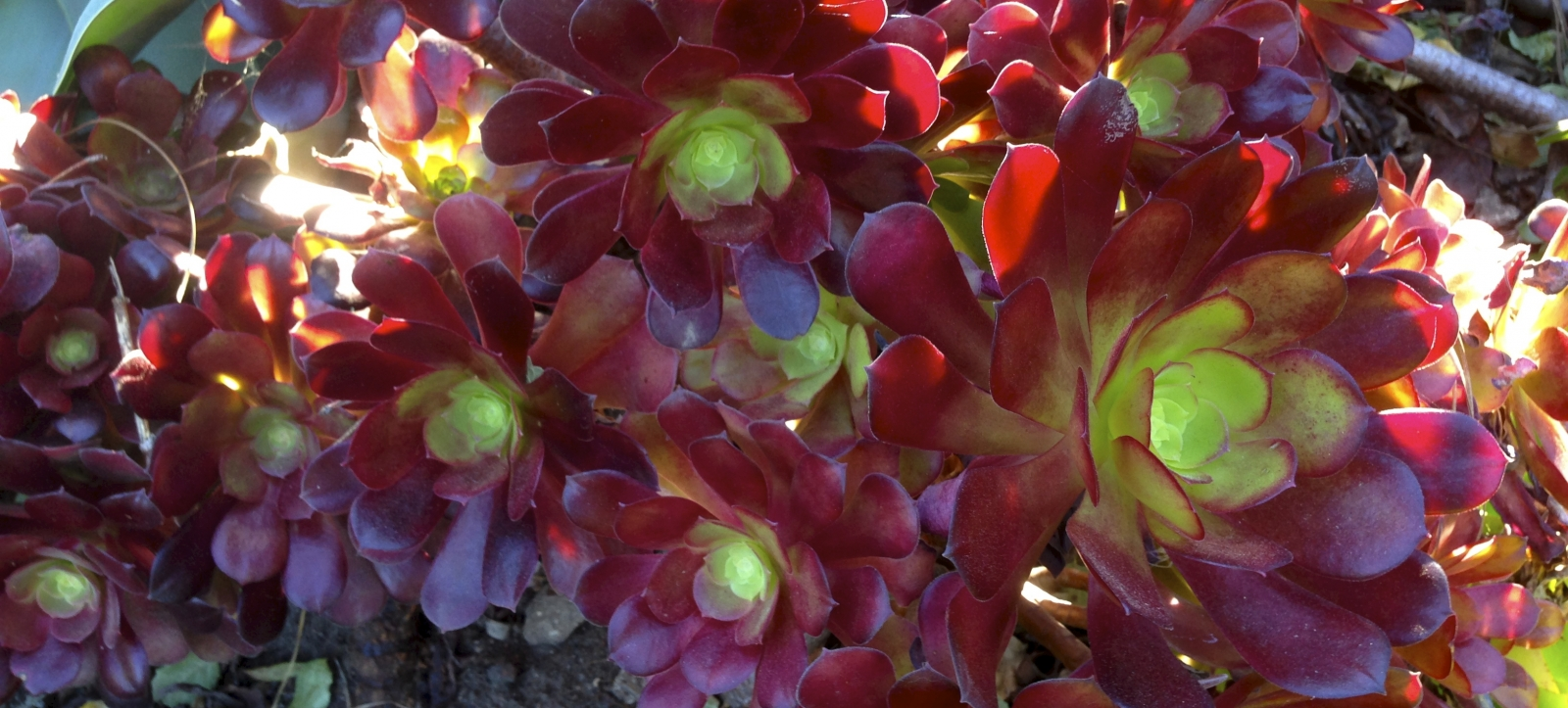 Lovely shining red, green and yellow succulents.