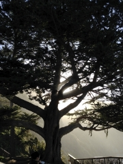 Gorgeous Esalen Sunrise through tree.