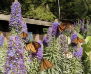 Esalen Color Monarch Butterflies.