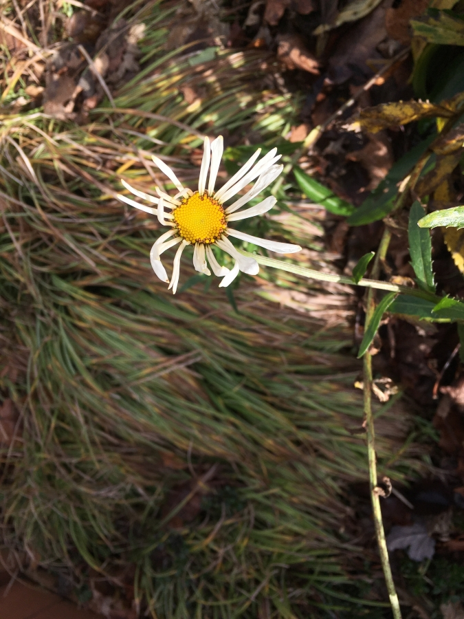 Faded Daisy Flower-1
