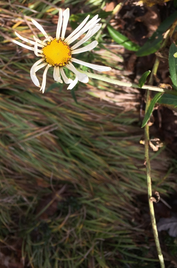 Faded Daisy Flower-2