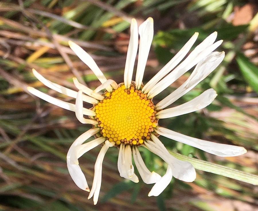 Faded Daisy Flower-3
