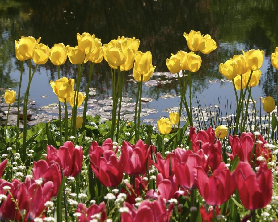 Tulips Water 8X10 1034