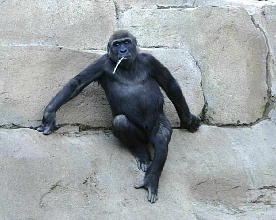 Wild Animal Park ape straw 8X10 02720096